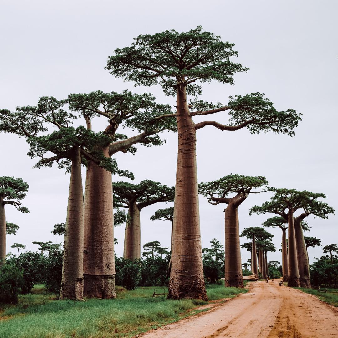 Ingredient Series: Baobab SeedExtract